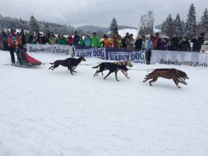 Hundeschlittenrennen Bernau, Schwarzwald