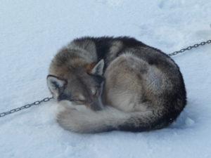 Schlafender Husky